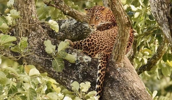 Indian Leopard – female