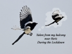 Eurasian Magpie Life