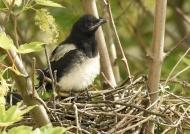 Eurasian Magpie family