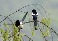 Eurasian Magpie couple