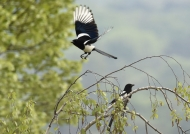 Eurasian Magpie couple