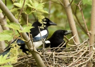Couple on the nest