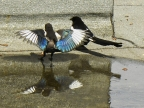 Baby Magpie drying his wings