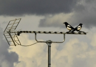 Eurasian Magpies in conflict…