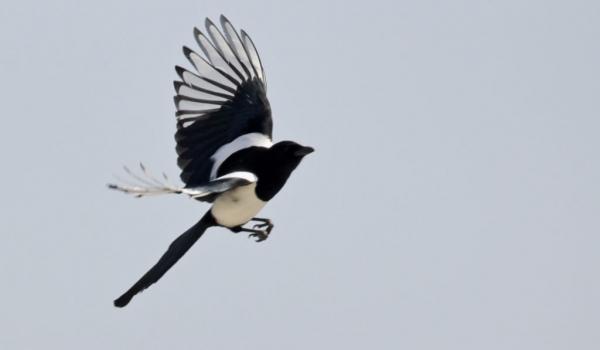 Eurasian Magpie freedom…
