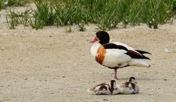 common shelduck f. with chicks