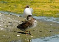 Malard – f. & black-headed gull