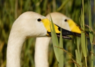 Whooper Swans – couple