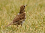 Common Blackbird – female