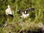White Stork and juvenile