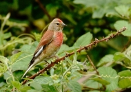 Common Linnet – male