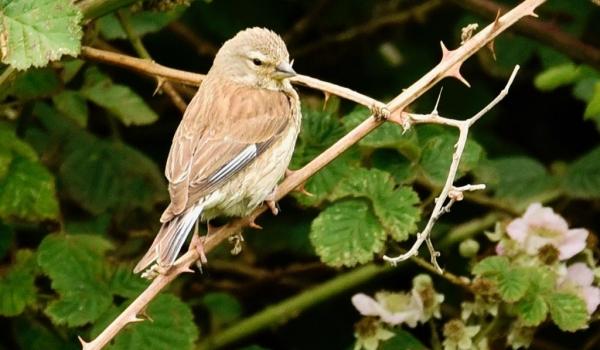 Common Linnet – female