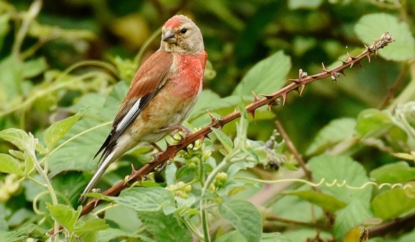 Common Linnet – male