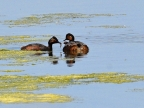 Black-necked Grebes & chick
