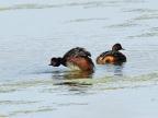 Black-necked Grebes – couple