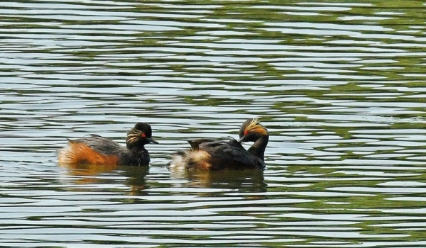 Black-necked Grebes – couple