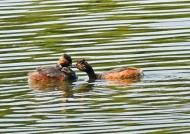 Black-necked Grebes & chicks