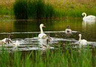 Mute Swan and juveniles