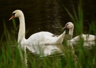 Mute Swan and juvenile