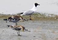 Black-headed Gull & chicks