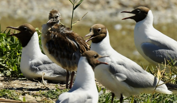 Black-headed Gulls & chick