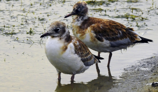 Chicks of Black-headed Gulls