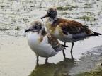 Chicks of Black-headed Gull