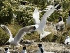 Gull & Sandwich Tern