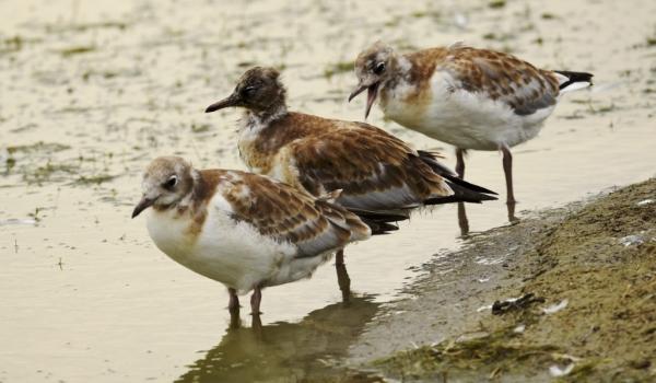 Chicks of Black-headed Gulls