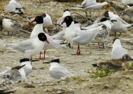 Medit. Gulls & Sandwich Terns