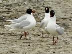 Mediterranean Gulls