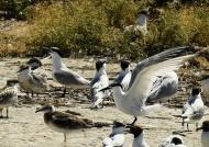 Sandwich Terns & chicks