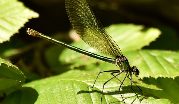 Banded Demoiselle – female