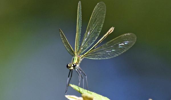 Île de France-dragonfly