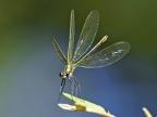 Île-de-France-dragonfly