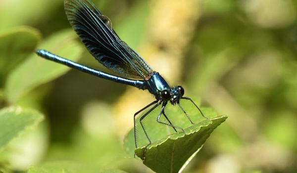 Banded Demoiselle – male