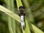 Broad-bodied Chaser – male