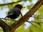 Common Blackbird – male