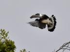 Common Wood Pigeon