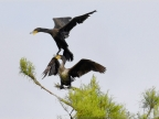 Great cormorants fighting