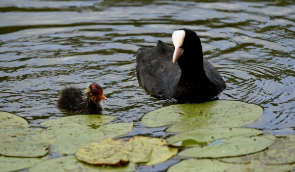 Mum Coot with chick