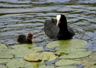 Common Coot Mum with chick