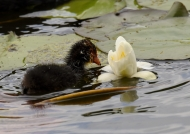 Common Coot chick