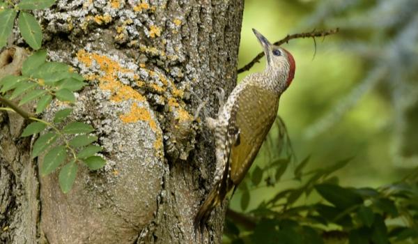 European Green Woodpecker-f.