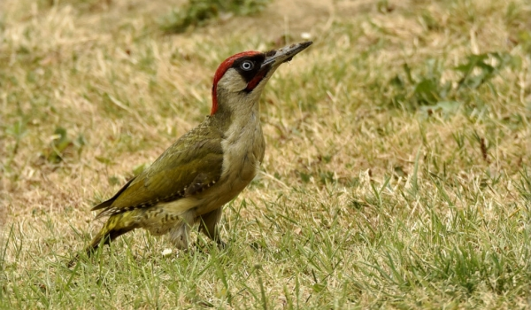 European Green Woodpecker-m.