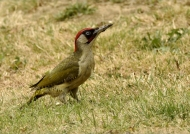 European Green Woodpecker-m.