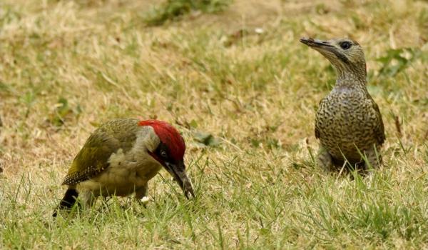 Green-Woodpecker-f. right
