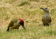 Green-Woodpecker-f. right