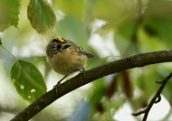 Goldcrest – male