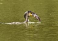 and feeding on Catfish…